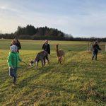 Alpaka wandern über Wiesen